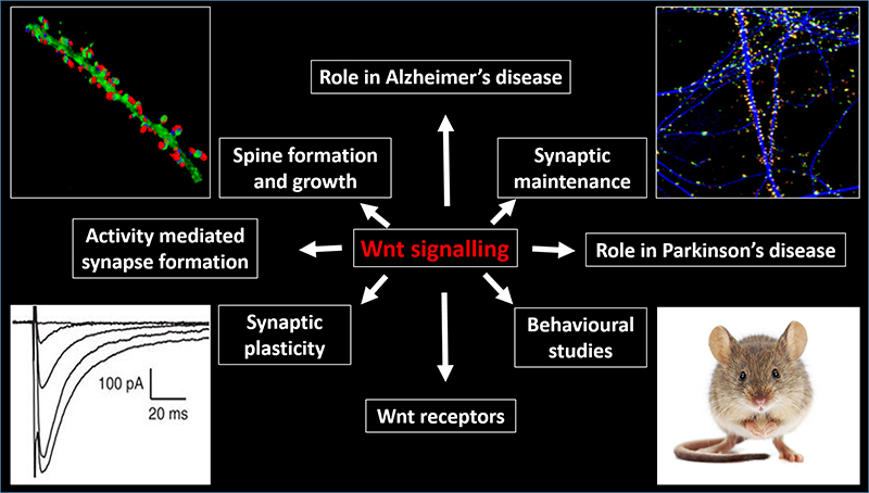 Rol of Wnt signalling in synapse formation, function and stability